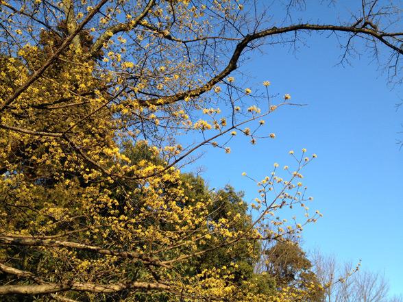 サンシュユの黄色は青空の補色