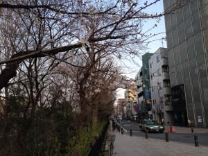 件の樹に近付くとまばらに桜