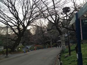 こちらの立派な桜は樹齢何年くらいでしょう