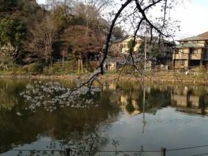 細枝に桜びっしりですね