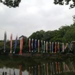 ゴールデンウィークの善福寺公園 鯉のぼりの共食い