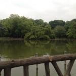 睡蓮の見頃 善福寺公園と石神井公園