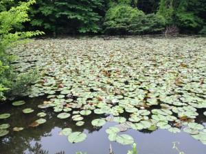 石神井公園の咲き始め睡蓮