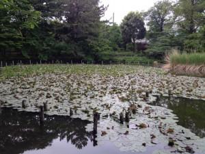 善福寺公園の睡蓮は見頃になってました