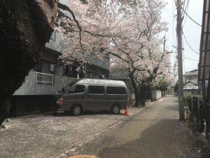 小径の左側にずらりと桜