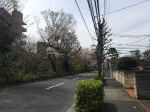桜の樹が固まっています