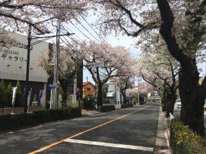入口付近に桜の樹が固まっています