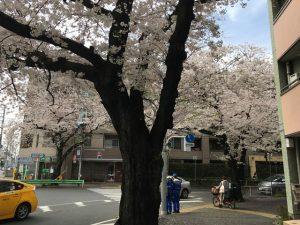 武蔵野中央交差点の桜