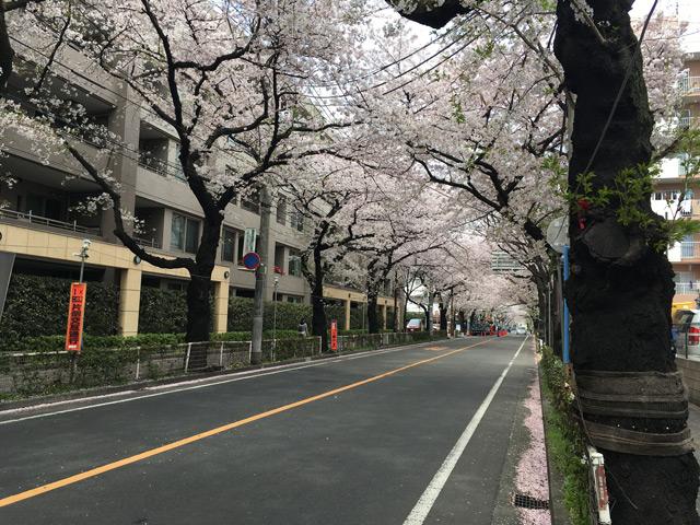 桜のトンネルですね