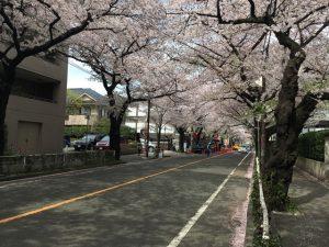 ずうっと消失点まで桜です