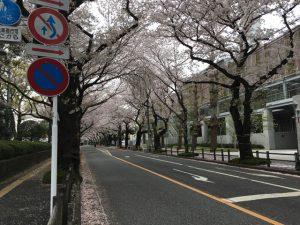 総合体育館の対面側の通りにも桜並木が