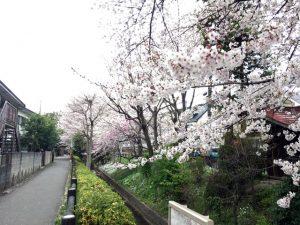 千川上水沿い遊歩道でも桜が楽しめそうですね