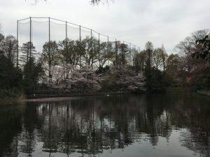 池の周囲に桜の樹が