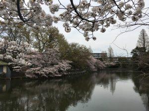 桜が少し寂しく感じられるのは、天気が悪いからです(笑)