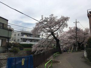 まずここで桜並木の存在に気付きます