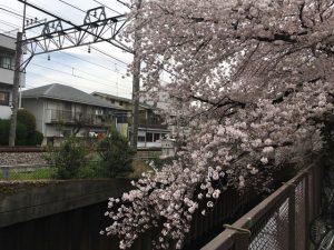 ここの桜並木、全て石神井川に枝を落とす枝垂桜なのです