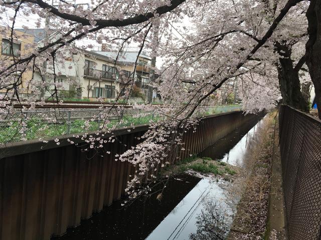 線路と護岸と桜