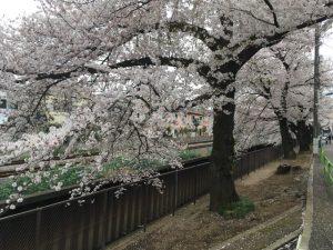 立派な桜の樹が多いです