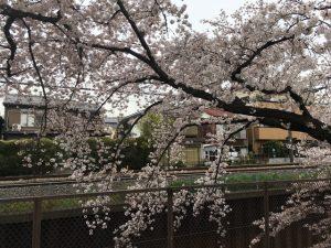 石神井川方向への枝の伸ばしっぷりが素敵です