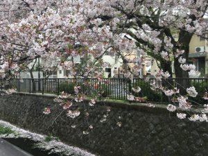 対岸の桜が届いている。もう今は散ってしまったのでしょうなぁ