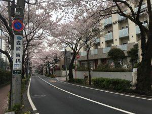 ブワァーっと先まで桜並木です