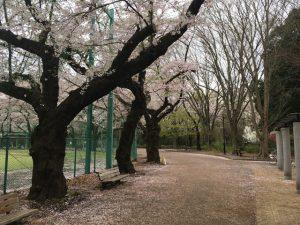 野球場を取り囲むように桜の樹が植えられています