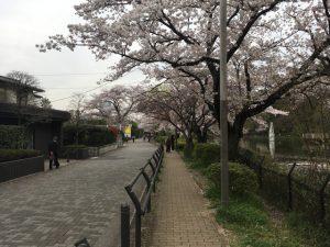 池周辺のゴージャスな住宅と桜