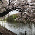 2017満開の桜@石神井公園〜石神井氷川神社