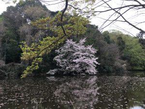 三宝寺池のお化け桜