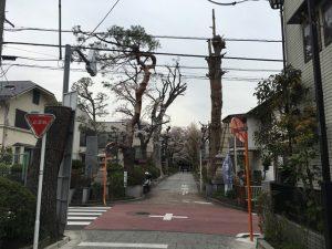 氷川神社の参道にも桜が
