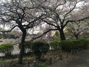 桜の樹がまとまっています