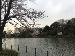 対岸の桜を眺むる