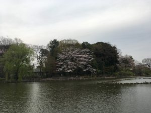 自在に延びた桜の疎らな感じが良いですね