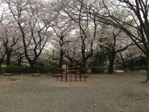もうこの辺りは桜、桜