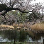 2017満開の桜@善福寺公園