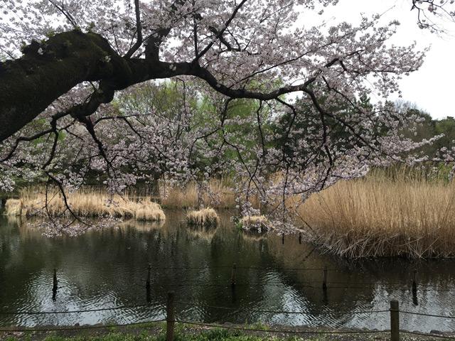 下の池に張り出す桜