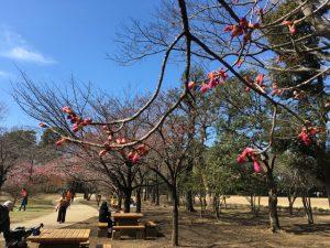咲き始めの寒緋桜