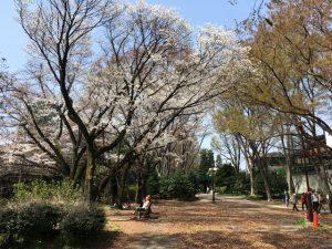 井の頭線線路より東側の大きな桜