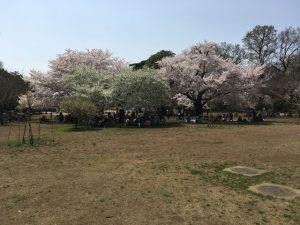 """""""桜の名所""""が作りだされる前、こういう花見がより伝統的なものだったかもしれませんね"""