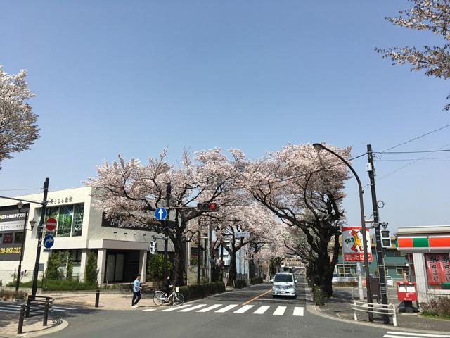 むらさき橋の桜