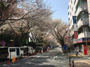 コンパクトな桜並木が出来上がっていますね