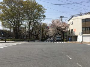 桜通りの名に恥じない桜並木