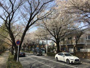 桜通りはずっと続く