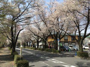 桜通りはずっと続く 見頃に来たかった