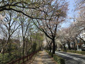 桜並木も見て楽しめますが、左手の玉川上水の土手も面白いですよ