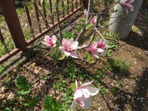綺麗なモクレンの花