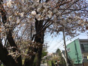桜通りの葉桜
