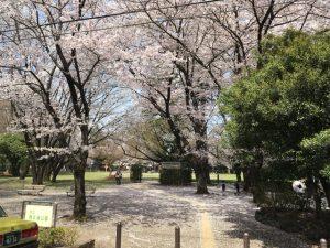こうなるのです。桜の名所!