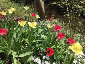 鮮やかに咲くチューリップ