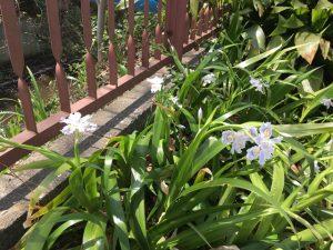 こちらにもシャガの花
